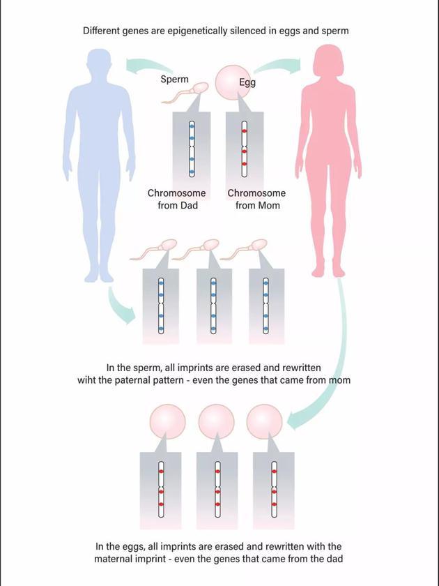 在精子和卵子中,染色体上特定的印记基因会被沉默或者重写,无论这条染色体之前是来自父亲还是母亲。    Jay Smith/Discover