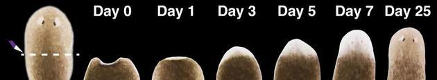 涡虫头部再生过程活体图像