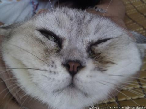 吃死猫的眼睛_猫咪眼睛总是流泪有泪痕怎么办?猫咪眼睛分泌物多吃什么好 ...