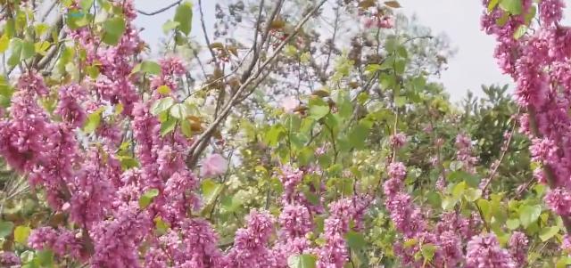 视频:上海植物园迎来最美赏花季 清明假期活动一览