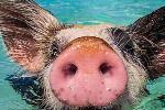 世界上最幸福的小猪