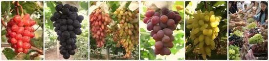 各色沪产葡萄种类