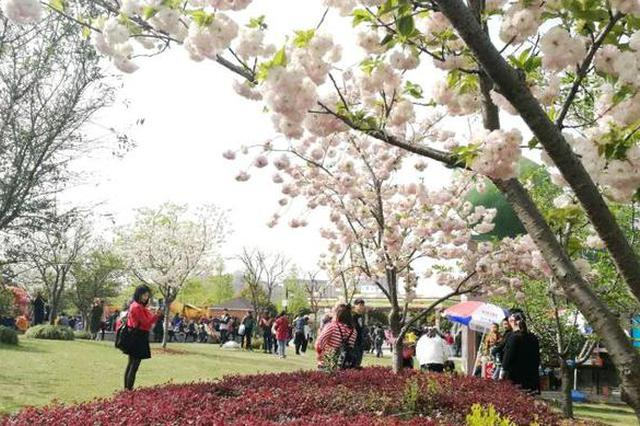 申城正值观赏晚樱好时节 顾村公园长假迎客18.5万人次