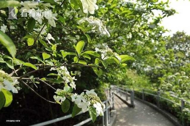 上海市区最大琼花林盛开 花中文艺青年尽显优雅