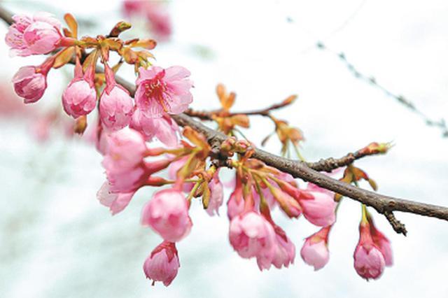 申城早樱提前一个月绽放 温暖气候雨水滋润是主因