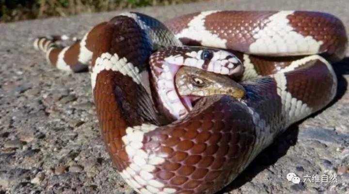 大蛇幾乎吞食完小蛇,卻被小蛇垂死咬住大蛇的身體