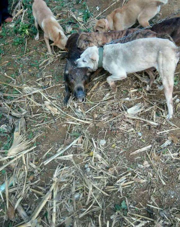 农村老人悼�z#���_农村大哥为民除害,出动几条猎狗,灭悼了一头野猪