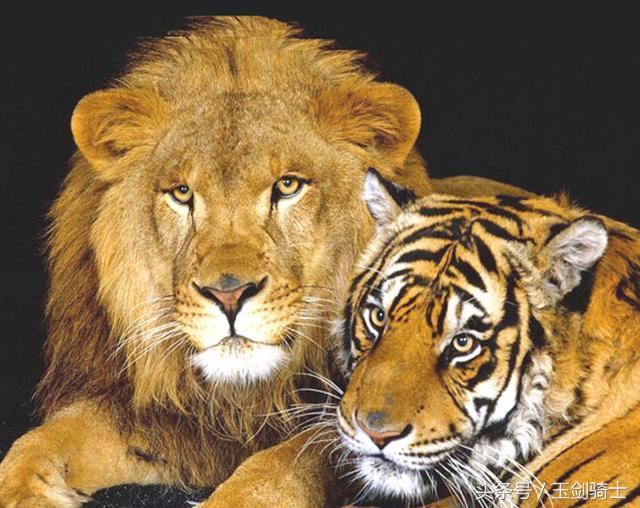 做梦梦到老虎和狮子_狮子老虎在它们面前都是\