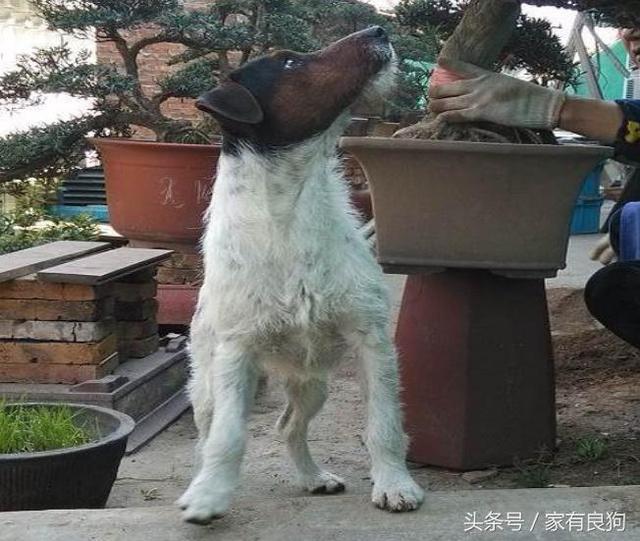 135抓鸡_太仓小猎犬中华独有,抓鸡逮兔名副其实,能见到乃之幸运!