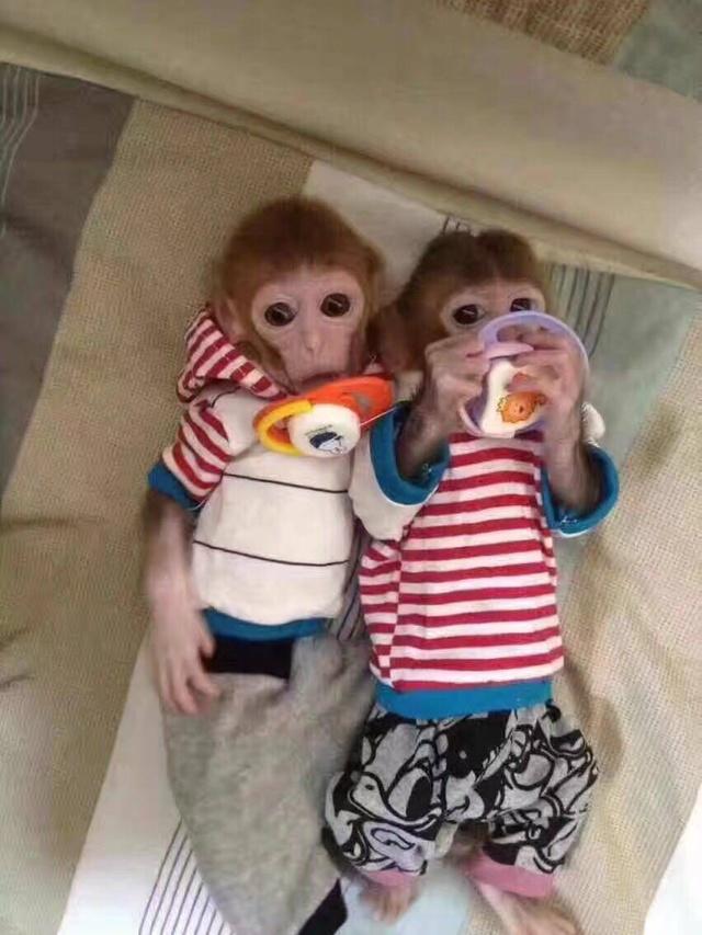 可爱的宠物猴多少钱一只?养猴子犯法吗?小猴