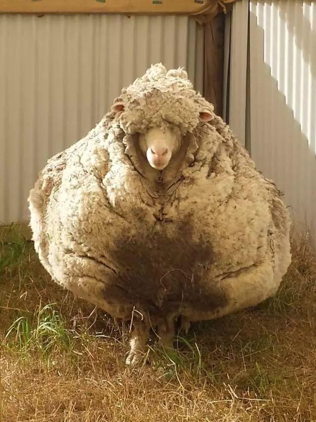 Картинки по запросу sheep with most wool
