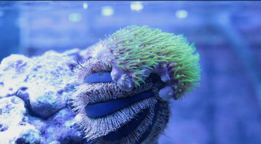 顏色如其名,藍色的腿帶有紅色的條紋,這種小螃蟹居住在丟棄的海螺