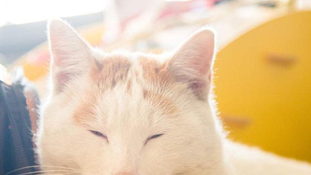 日本田园猫_日本田园猫_日本田园猫照片