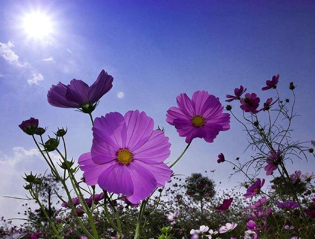 格桑花种子_种植格桑花种子的方法,掌握4个步骤,快速生根发芽