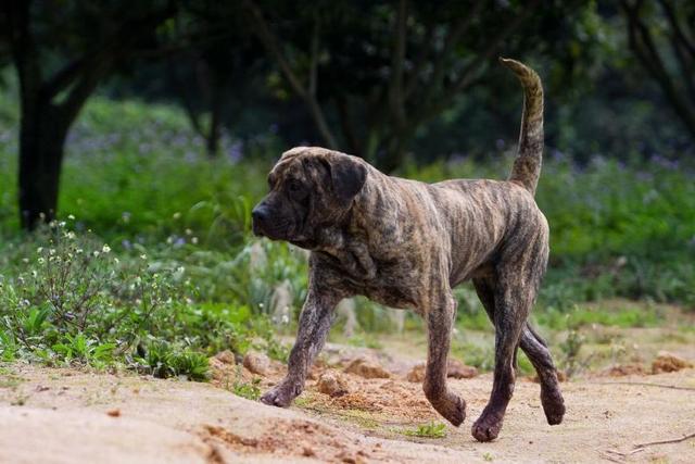 动物性较大全狗_世界最凶猛的狗_排行榜大全