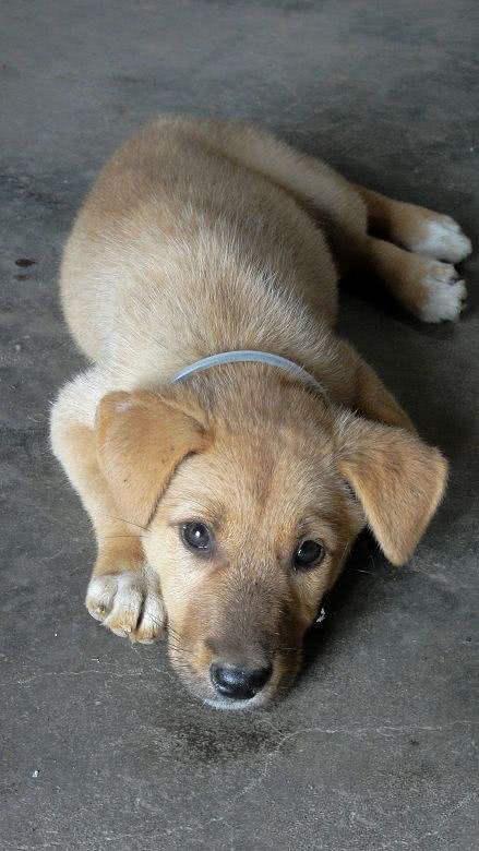 三级人与兽黄色_土狗,中华田园犬,是我国特有的犬种,自古养来看家护院与人为伴,其实