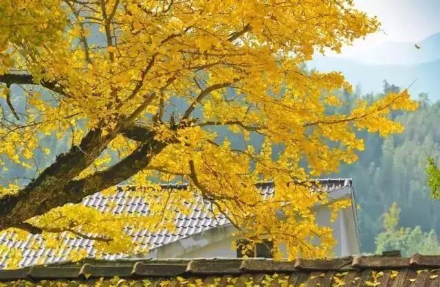 临安最佳赏秋地5家民宿,金黄银杏美成一幅印象派油画丨南方民宿