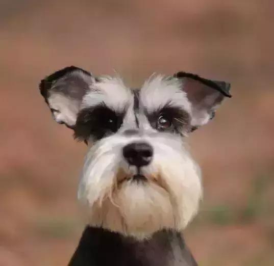 梗犬_雪纳瑞犬是唯一在梗犬类中不含英国血统的品种