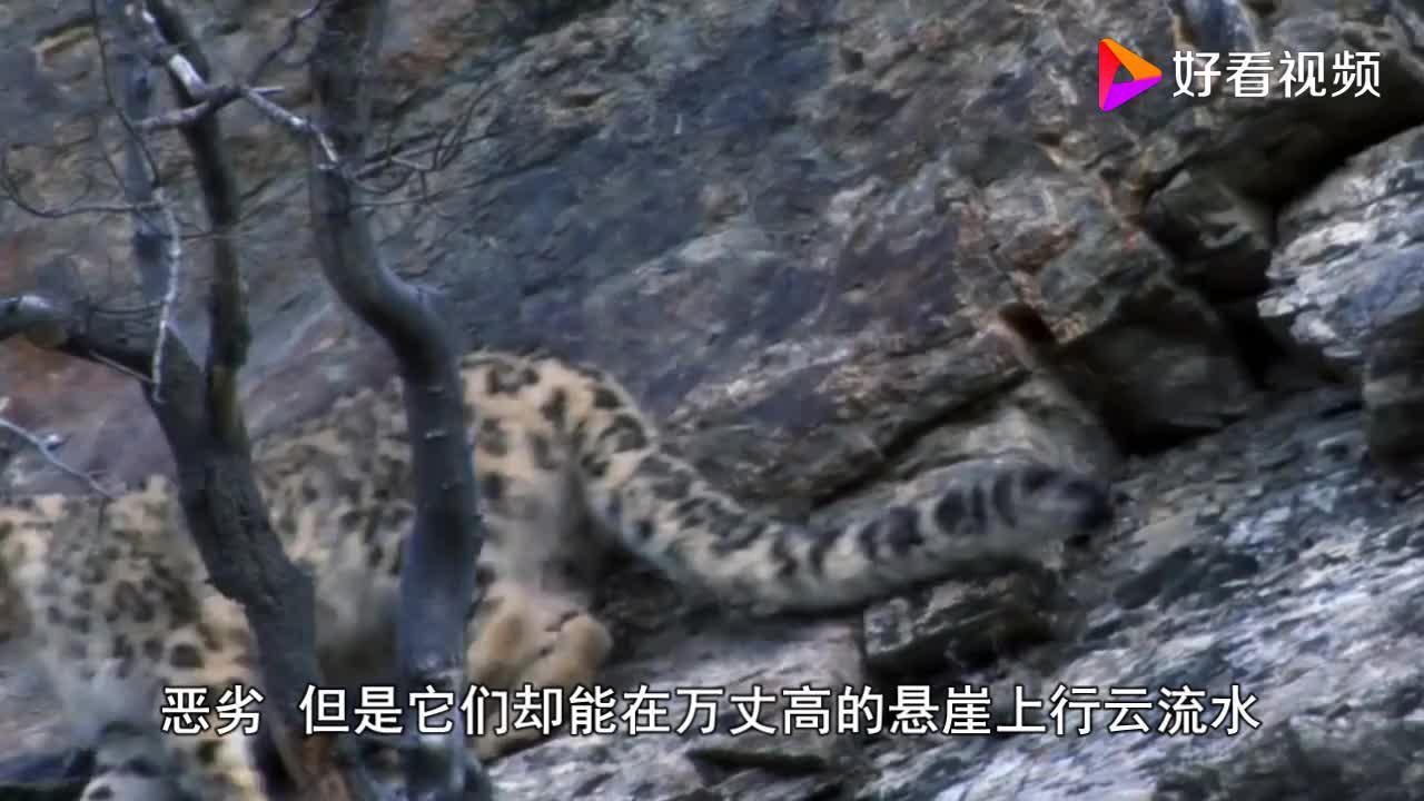 雪豹抓住岩羊怎料岩羊寧死不屈竟帶着雪豹跳下懸崖