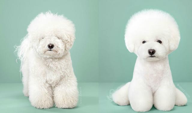 狗狗美容前后对比照简直天壤之别,你能认出它们是同一只狗吗 美容 小狗 ...