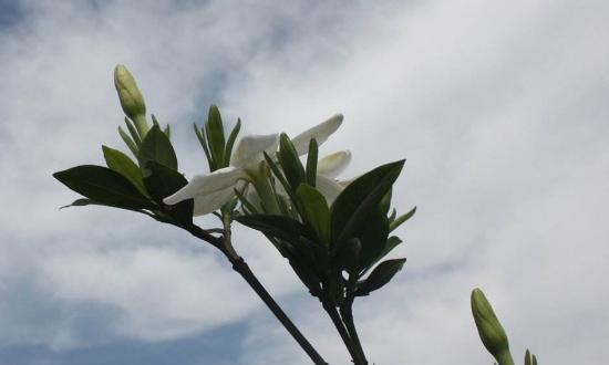 发现栀子花有黄叶迹象,浇水方法立马改改,黄叶不在长势不差