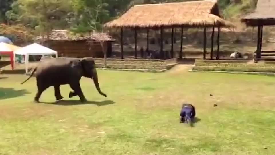 照顧大象17年飼養員被攻擊時大象挺身而出鏡頭拍下全過程