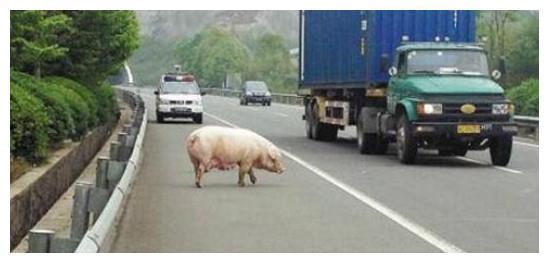 高速上开车遇到动物 切记不要这样做