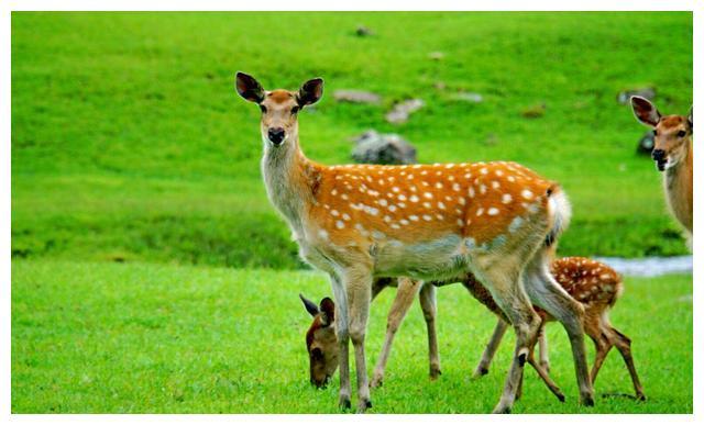 伊春金山鹿苑半开放散养梅花鹿和天山马鹿,适合摄影和观景