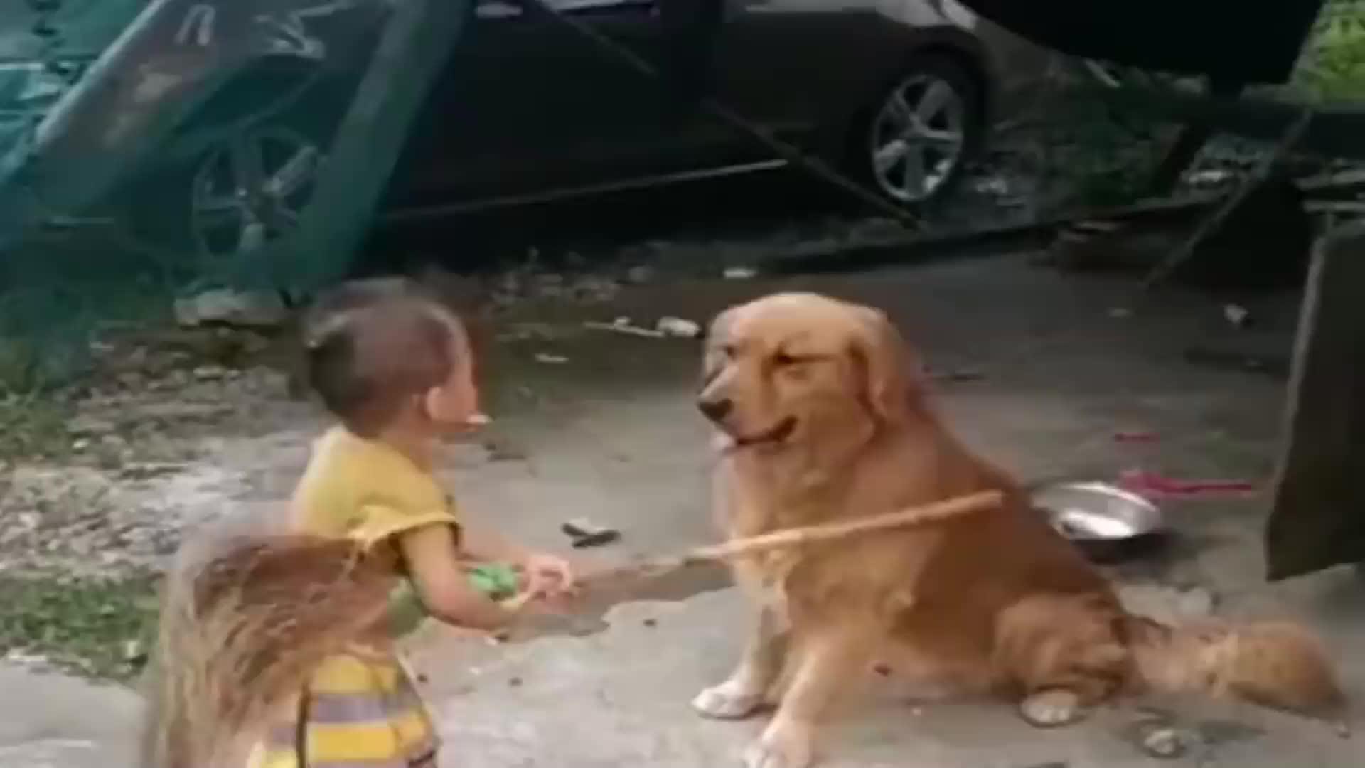 寶寶和金毛打架金毛舉起爪爪阻止太有意思了