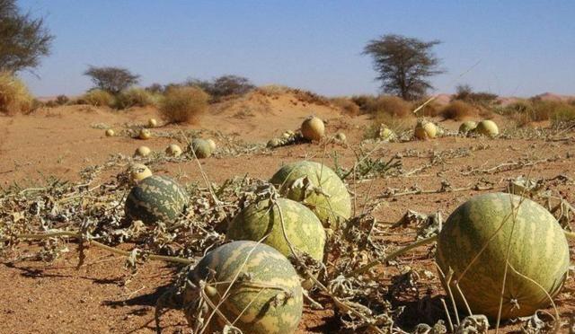 遊客不聽勸!摘了沙漠裡的西瓜,剛摘下遊客就後悔了!|沙漠|西瓜|遊客_ ...