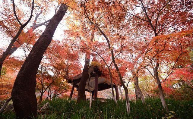 旅游:深秋的南京栖霞山满目枫叶红似火
