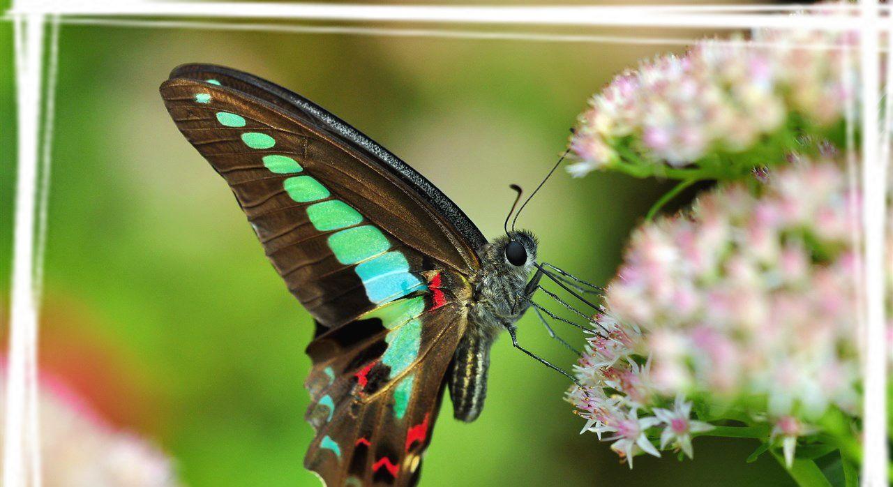 自然昆虫青凤蝶壁纸图片欣赏