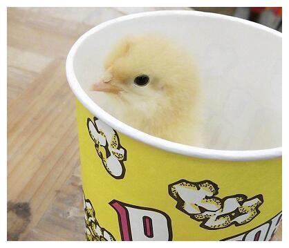 """王源介绍他的新朋友——""""游戏鸡"""",他把鸡放这里好调皮"""