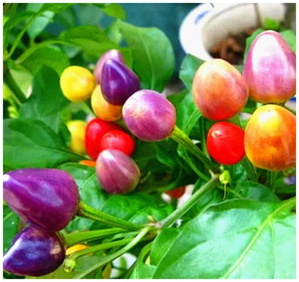 四季蔬菜籽七彩椒观赏小辣椒,五彩椒朝天椒种子种植详解方法
