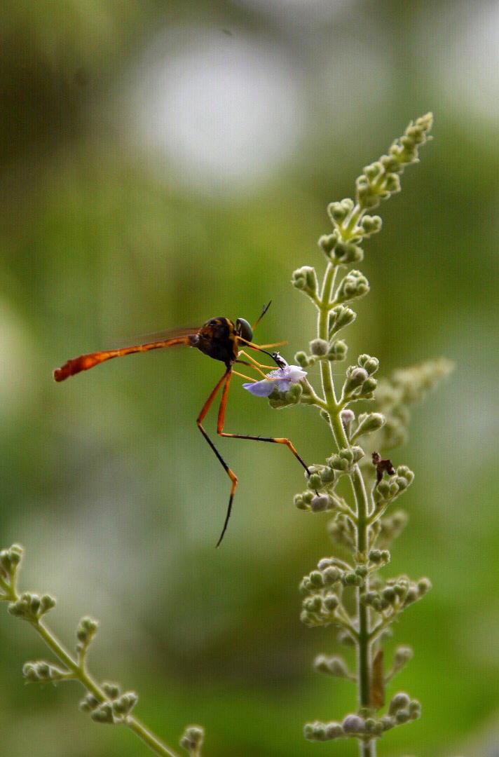 蜻蜓姬的大�_谁知道这是啥蜂?大长腿小蛮腰像美蜻蜓嫁给大黄蜂的孩子
