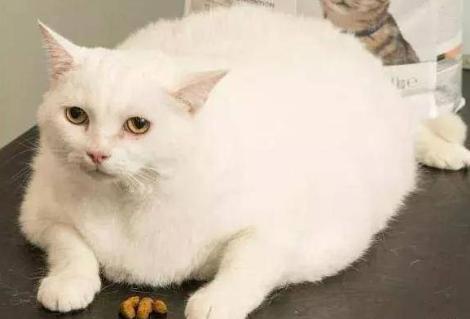 英国宠物减肥大赛,获胜者免费吃饭一年,橘猫表示很生气