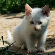 暹罗猫真的是很聒噪的猫咪吗_泰国贵族猫咪_猫咪公寓暹罗猫