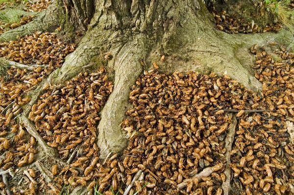 中国人最喜欢的昆虫美食,快被吃绝了,可这个国家都多成灾了|蝉|知了猴|昆虫_新浪新闻
