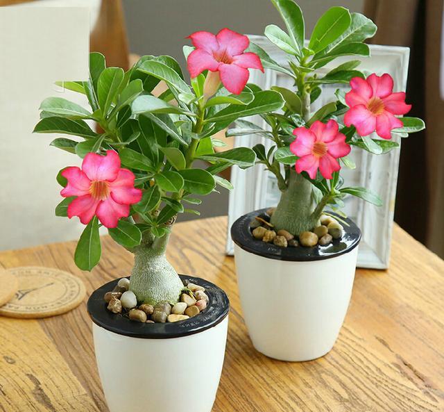 沙漠玫瑰_多肉植物中的小胖子-沙漠玫瑰