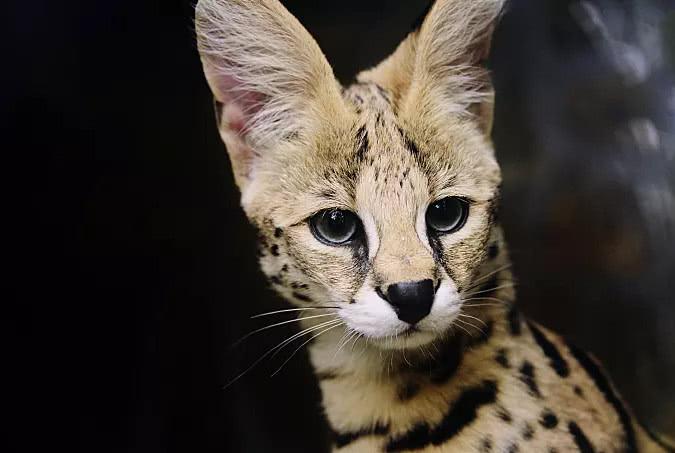 亚洲豹猫_豹猫原产于亚洲,我国的很多省份都有豹猫分布,它们主要生活在森林里.