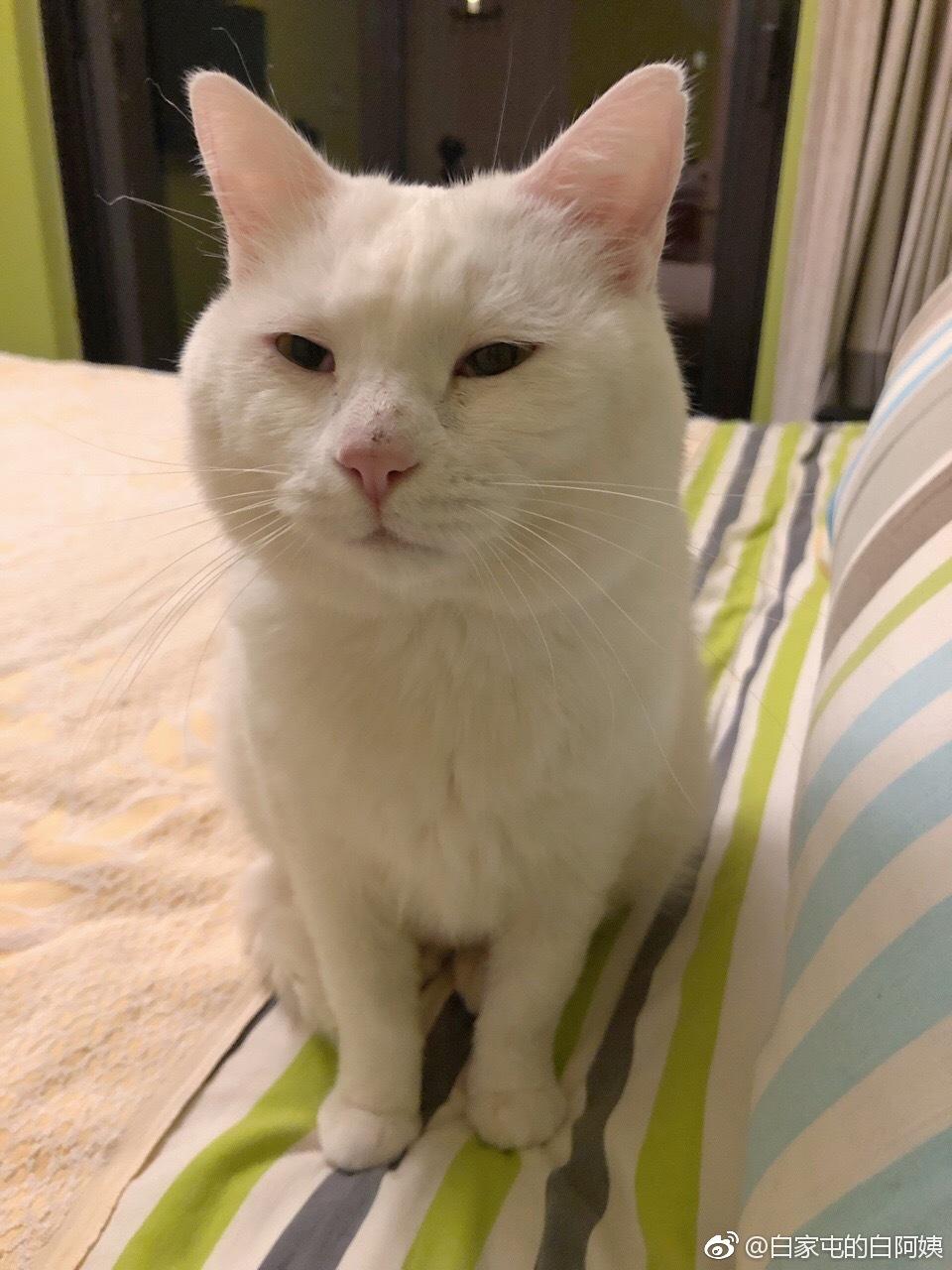 猫 db 白