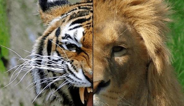 做梦梦到老虎和狮子_把狮子和老虎放在一起,究竟谁更厉害