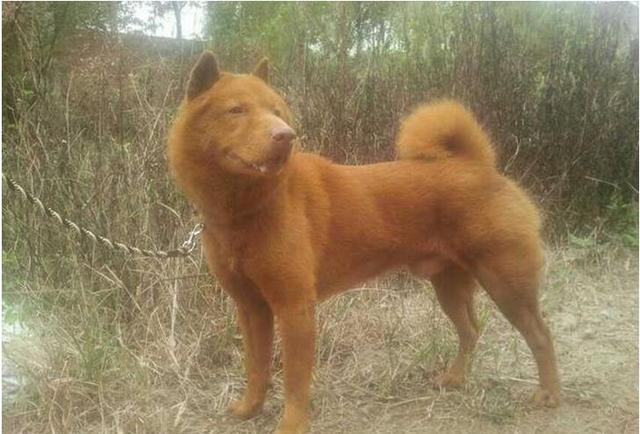 三级人与兽黄色_属于亟待拯救的本土犬种 历史起源 产于广东大沥县,与美国人培育且定