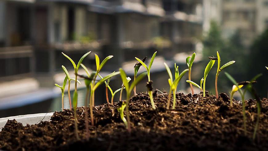 格桑花种子_这一种花儿,种子掉盆里就发芽,只浇水就能开花爆盆,越