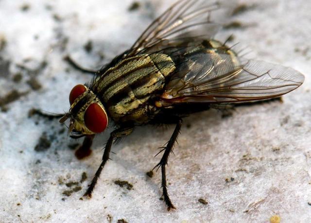 蛆如何变成苍蝇_苍蝇怎么形成的-放什么东西赶走苍蝇_家里无缘无故有大苍蝇
