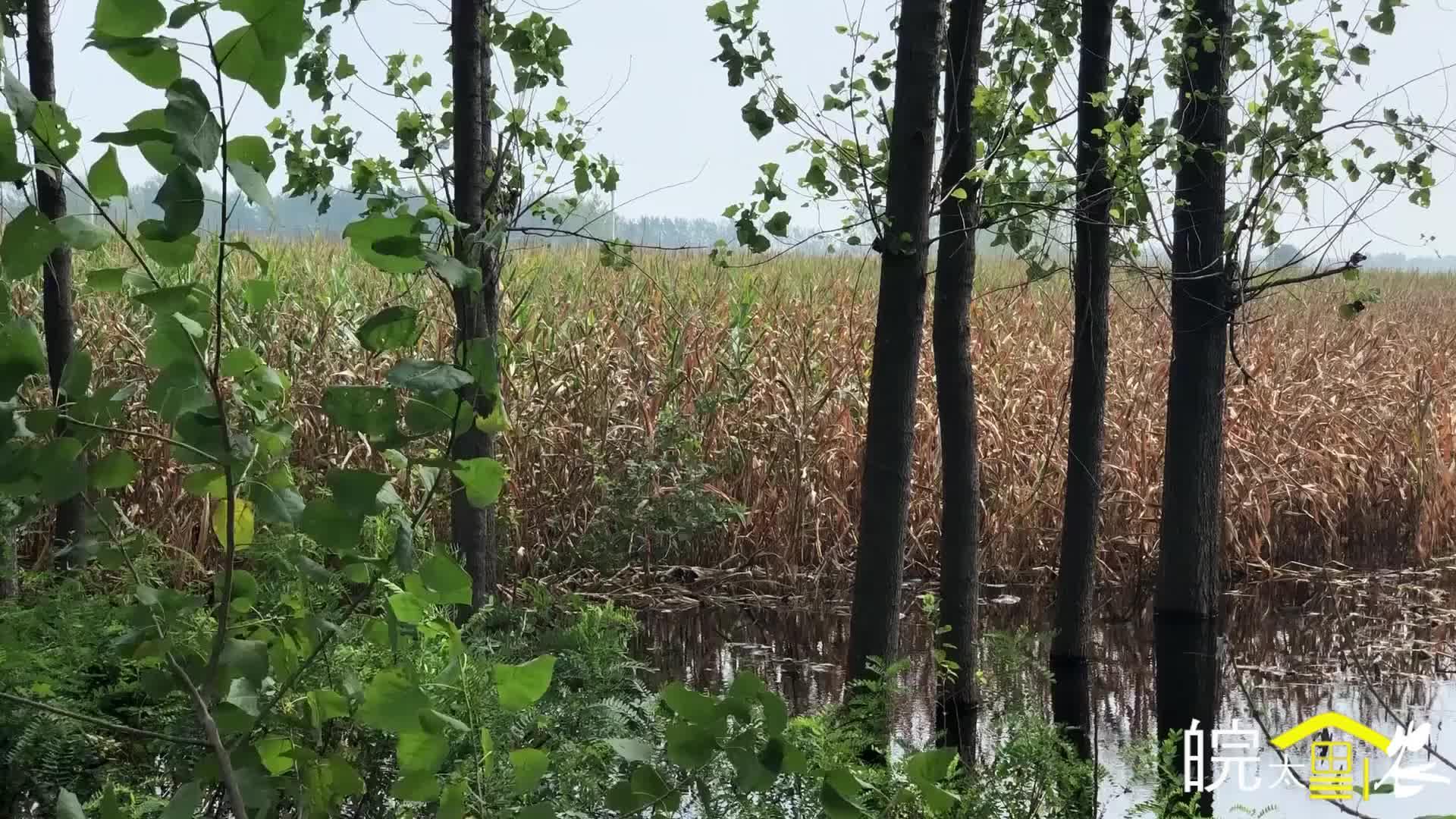 河南周口:实拍郸城白马镇,大量玉米地被水淹,玉