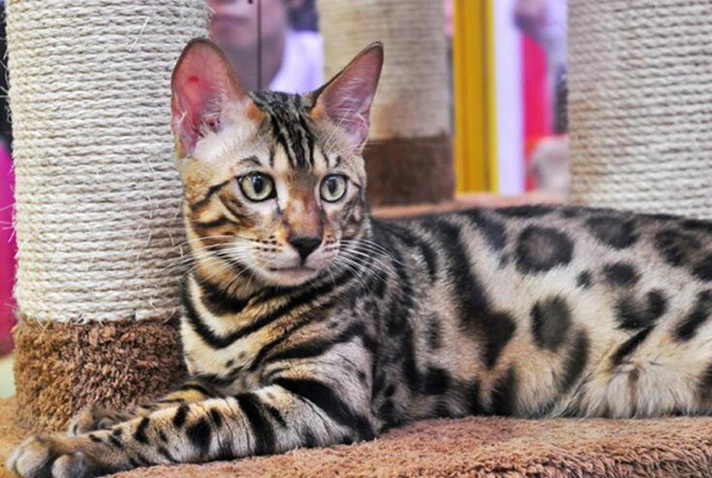 亚洲豹猫_第二名亚洲豹猫,因为酷似花豹吸引人们的眼球