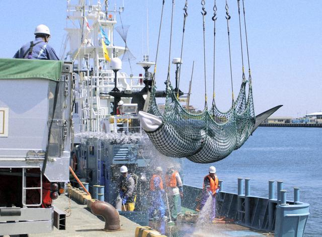 工作人员搬运小须鲸(每日新闻)