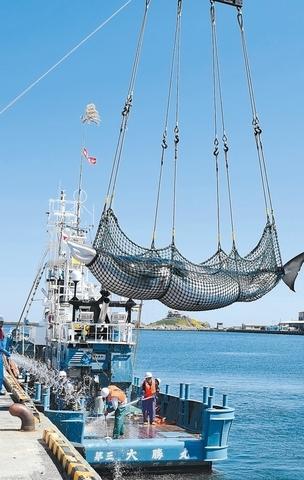 """在八户市第一鱼市附近被抬出水面的小须鲸。(日本""""河北新报"""")"""