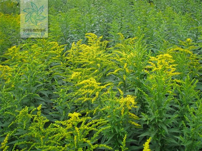 加拿大一枝黄花。图/中国植物图像库
